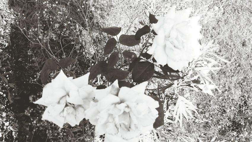 Flower Nature Flower Head Petal No People Fragility Beauty In Nature Beauty In Nature Outdoors Nature Rose - Flower Rose Collection Rose🌹 Blackandwhite Photography Black And White Photography