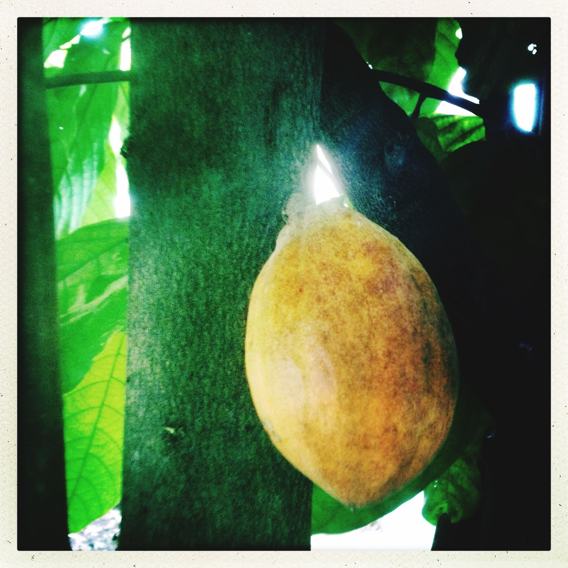 Cacao Brazzaville Congo Arbres Cacaoyer