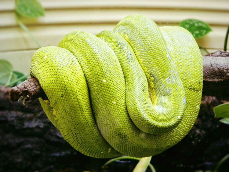 Green Tree Python Python Reptile Animals Fresh On Eyeem  Close Up Animal Zoo Animals In Captivity Confined  Zoology Animal Portrait Photography EyeEm Best Shots EyeEm Gallery Creature Feature  Hello World Check This Out Taking Photos Memory Of Travel In Washington, D. C. At National Zoo, Washington DC, United States