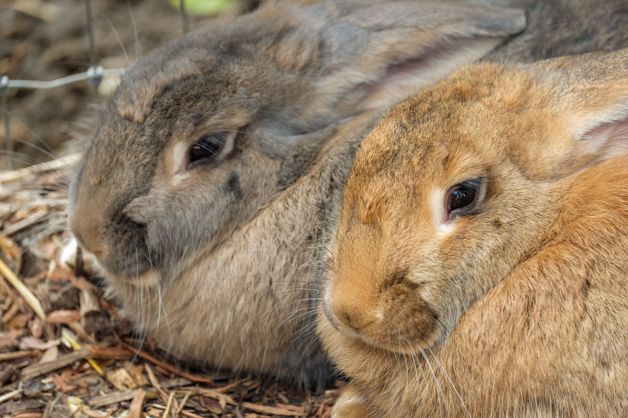 Giant rabbits Bunny  Giant Rabbit Rabbit Rabbits Wellington Zoo Wildlife Wildlife & Nature Wildlife Photography