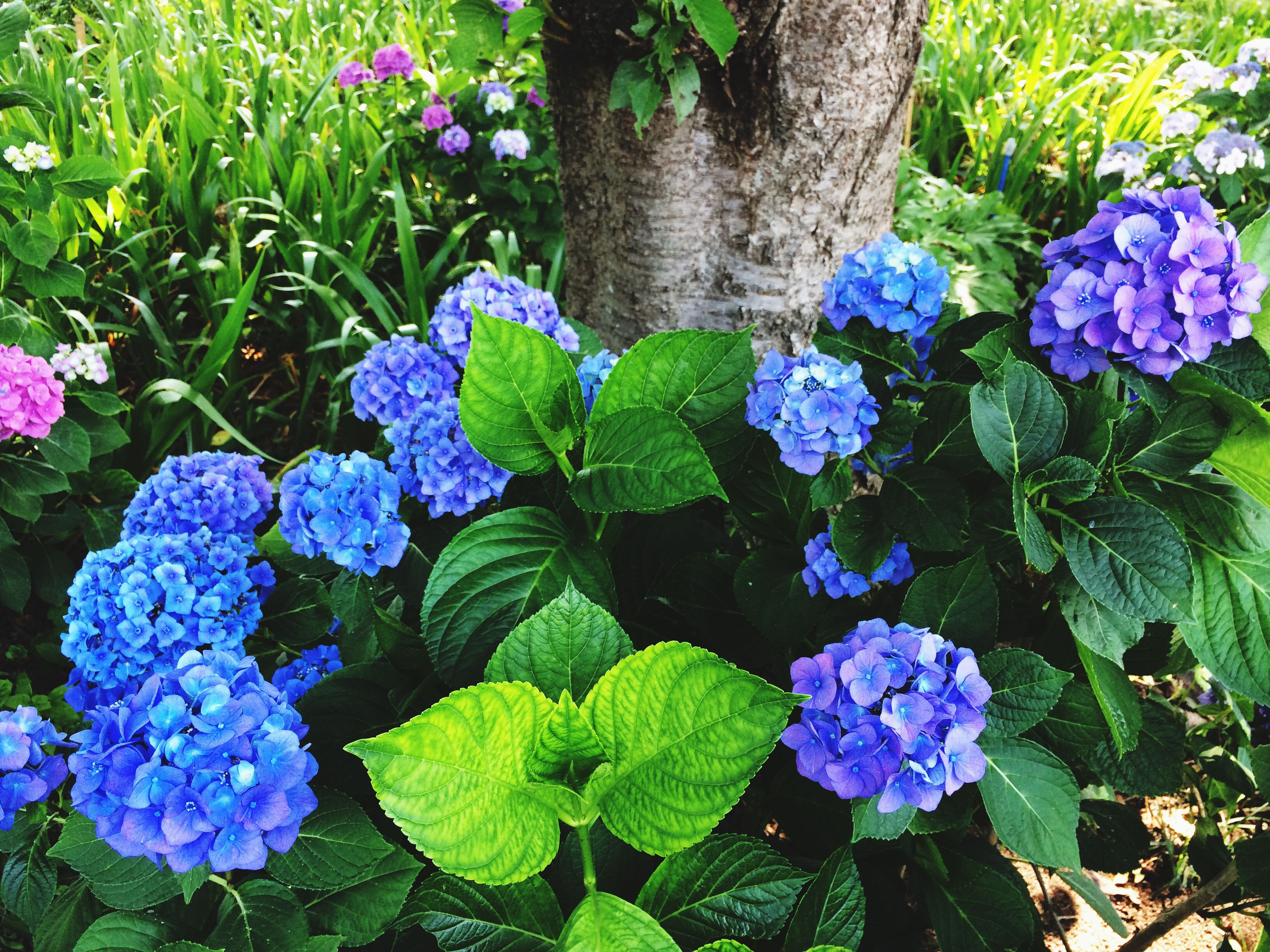 flower, purple, freshness, fragility, growth, beauty in nature, petal, plant, blooming, leaf, flower head, nature, in bloom, high angle view, green color, hydrangea, park - man made space, botany, close-up, springtime