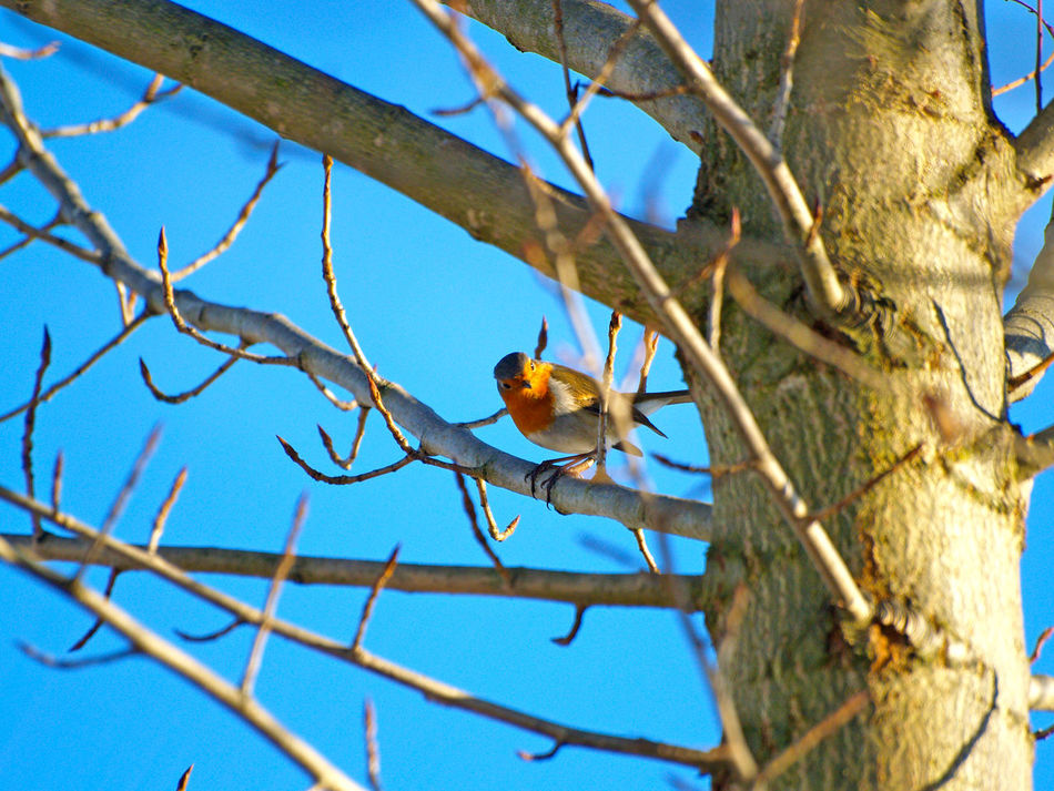 Animal Themes Animal Wildlife Animals Animals In The Wild Animals In The Wild Bare Tree Bird Birds Birds_collection Branch Chirp Environment Erithacus Erithacus Rubecula Low Angle View Nature Nature No People Outdoors Perching Robin Sky Songbird  Tree Wildlife
