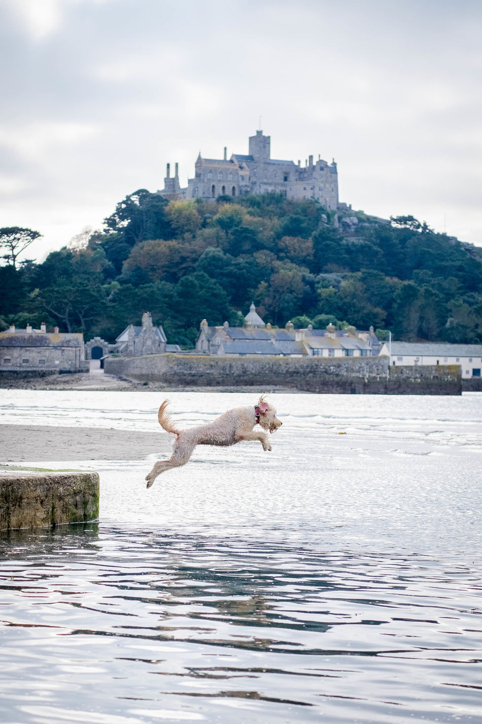 Action Shot  Beauty In Nature Day Dog Dog Fetching Dog Jumping Dog Swimming Dog Walk Dog Walking Dog Walking Days Dogs Golden Doodle Golden Doodle Pose Jumping Outdoors Pets Sea Sky St Michael's Mount St Michaels Mount Swimming Water Golden Doodle Dog waiting game Waiting Game