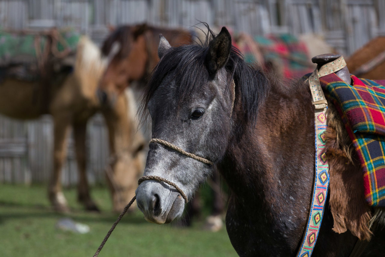 Animal Themes Bridle Close-up Day Domestic Animals Focus On Foreground Horse Livestock Mammal No People Outdoors Working Animal