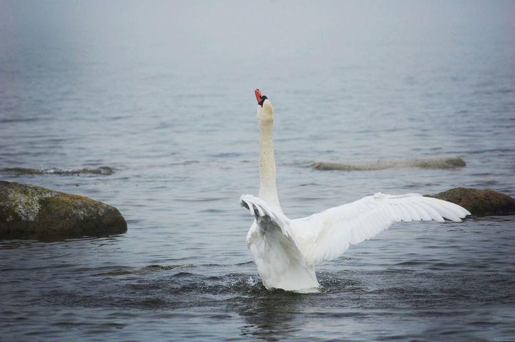 Swan Animal Wildlife Water Animals In The Wild One Animal Wings Wings Spread Bird Ocean Foggy Seaside Seascape