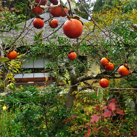 Autumn Beauty In Nature Close-up Focus On Foreground Freshness Japan Nature No People Orange Color Outdoors Persimmon Plant Ripe Roof Rural Scene Tranquility Wooden