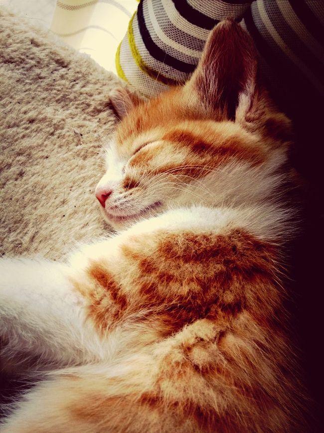 Kitten Zzzz
