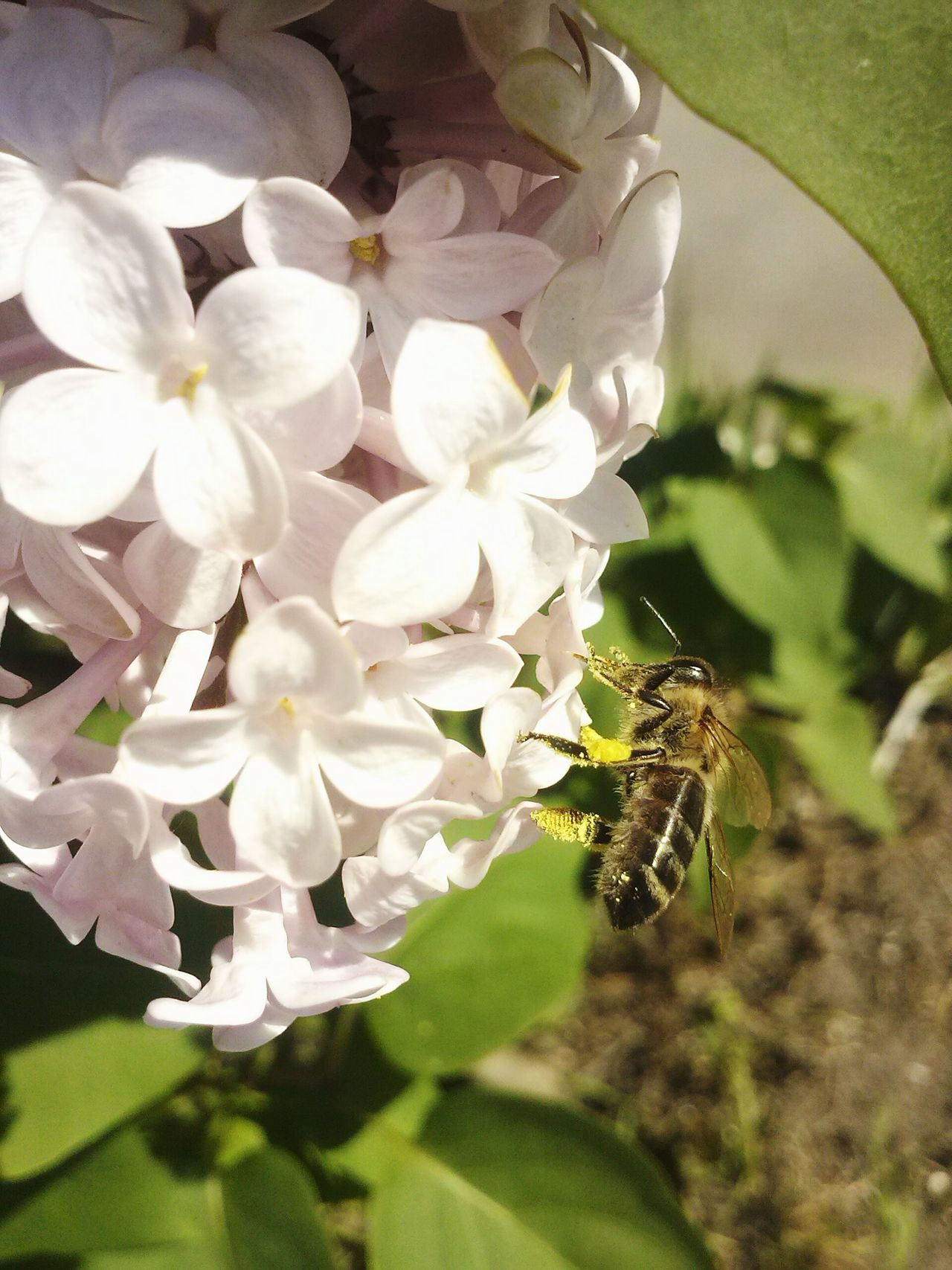 прекрасное рядом весна.сирень.пчелы. First Eyeem Photo