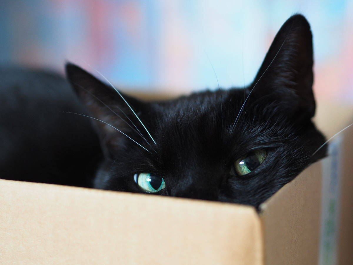 Cat Domestic Animals Domestic Cat Catsinabox Animal Themes One Animal Pets Looking At Camera Indoors  cat in a box
