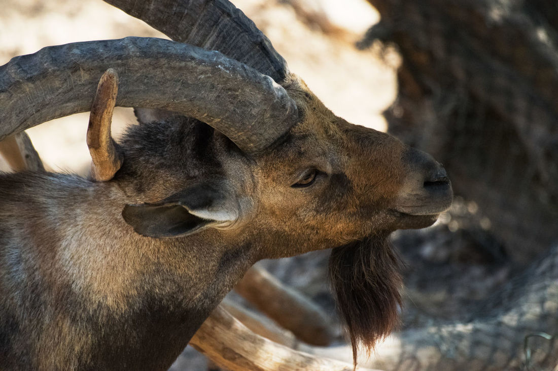 Animal Themes Animal Wildlife Animals In The Wild Arabian Goat Close-up Day Mammal Nature One Animal Outdoors