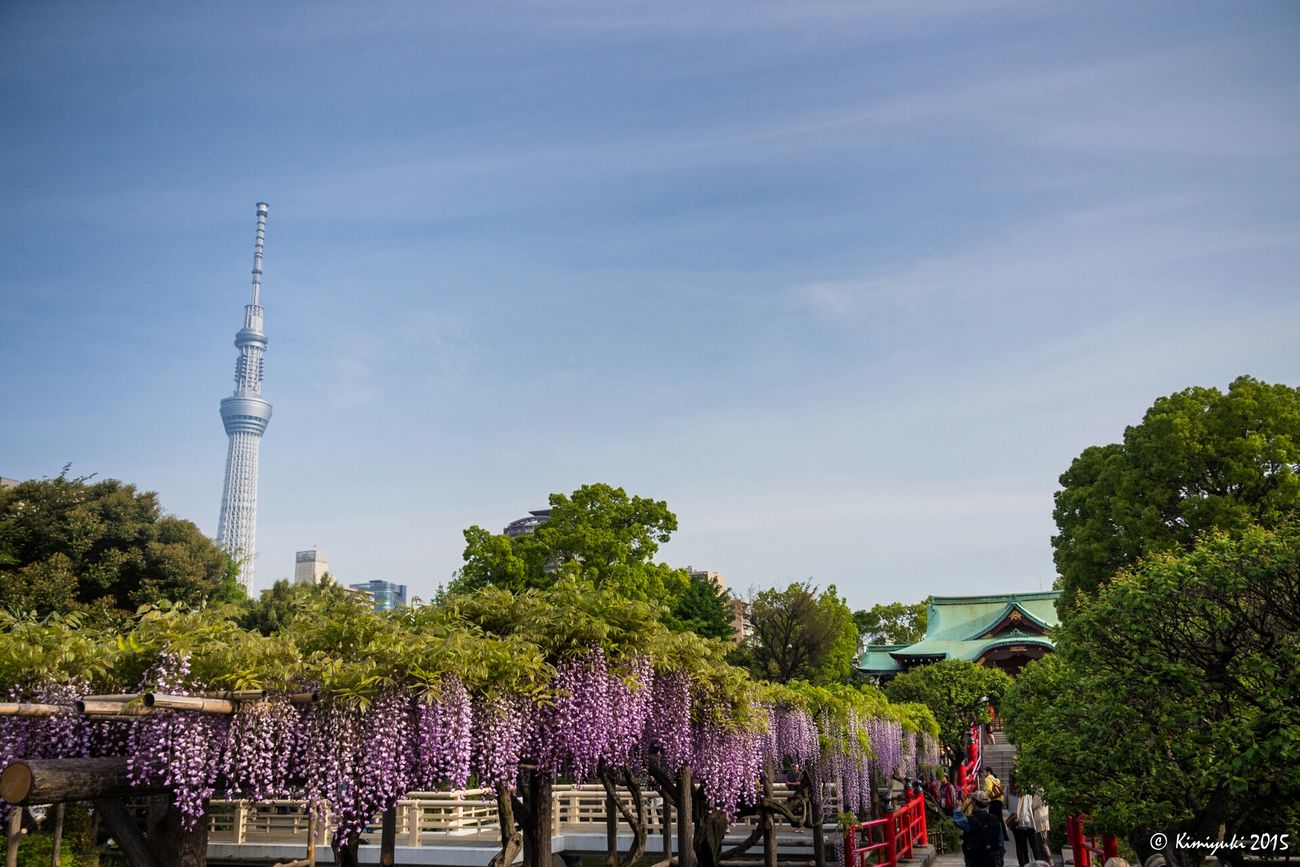 藤まつり Flower Collection Flowerphotography Flowers Flower Wisteria Tree Olympus 鉄塔♡Love Tokyoskytree Skytree