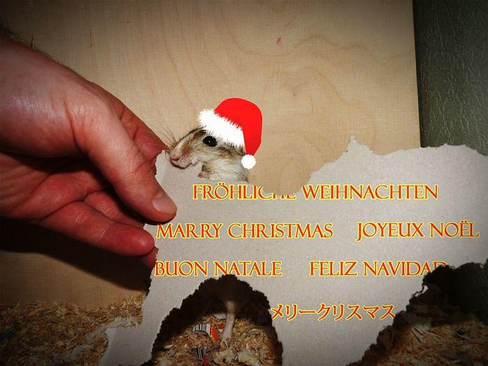Jingle bells, jingle bells...? Christmas Noël Frohe Weihnachten Feliznavidad Buonnatale Gerbil Helpers Always Wear Cut Hats
