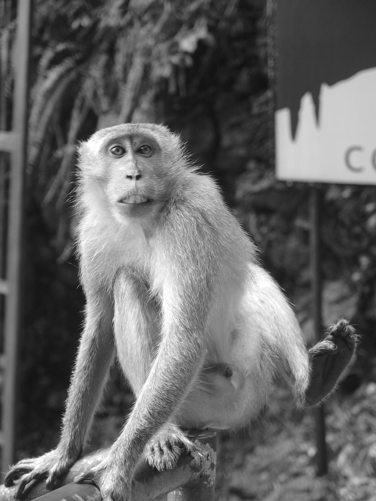 Animal Themes Batu Caves Batu Caves -Malaysia Blackandwhite Cave Monkey Monkeys One Animal Surprised What