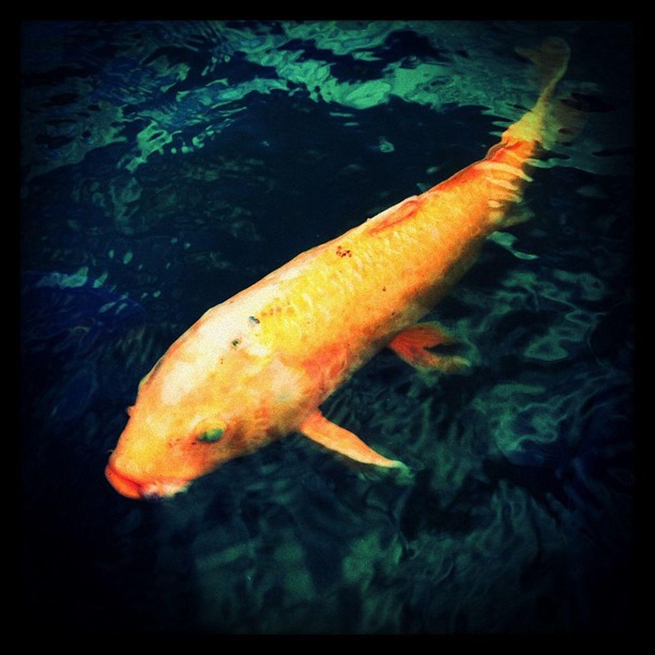 koi fish Fish Japan