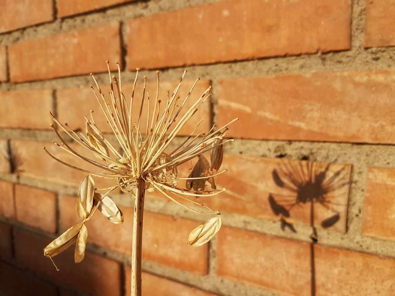 [TFC] Brick Wall No People Outdoors Plant Flower Day Nature Close-up Building Exterior Built Structure Fragility Architecture Beauty In Nature Flower Head Relaxing Peace Inspirations Light And Shadow Detail Garden Lifestyles Death Dry Flower  Life Shadow