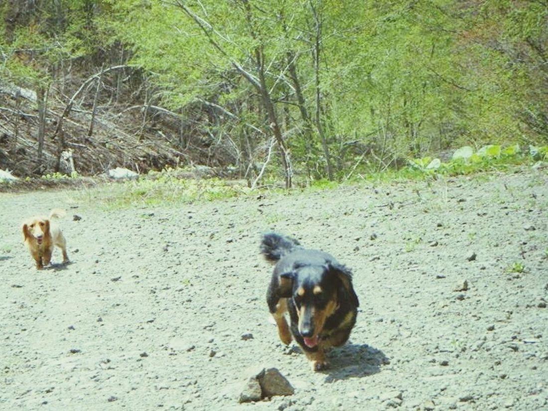 犬 ダックス Dacshund Dog
