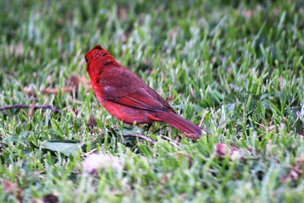 Animal Themes Animals In The Wild Beauty In Nature Bird Canonphotography Close-up Day Grass Green Color Nature No People One Animal Outdoors Perching Red Redbird