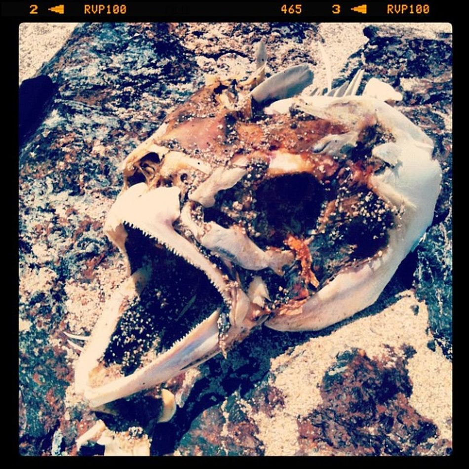 Beachfind Fish Skeleton