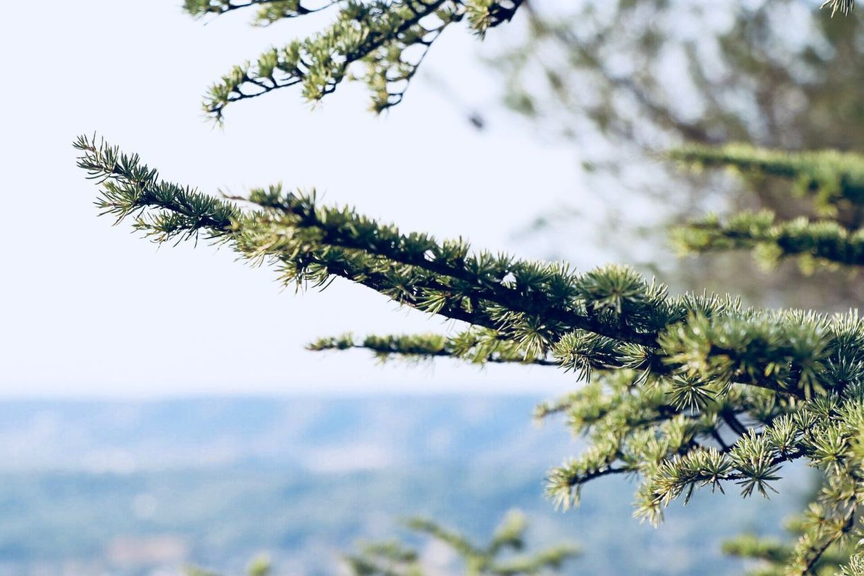 Nature Winter Beauty In Nature Growth Tree Outdoors Day Branch No People Focus On Foreground Cold Temperature Pine Tree Tranquility Plant Close-up Snow Scenics Fir Tree Spruce Tree Sky