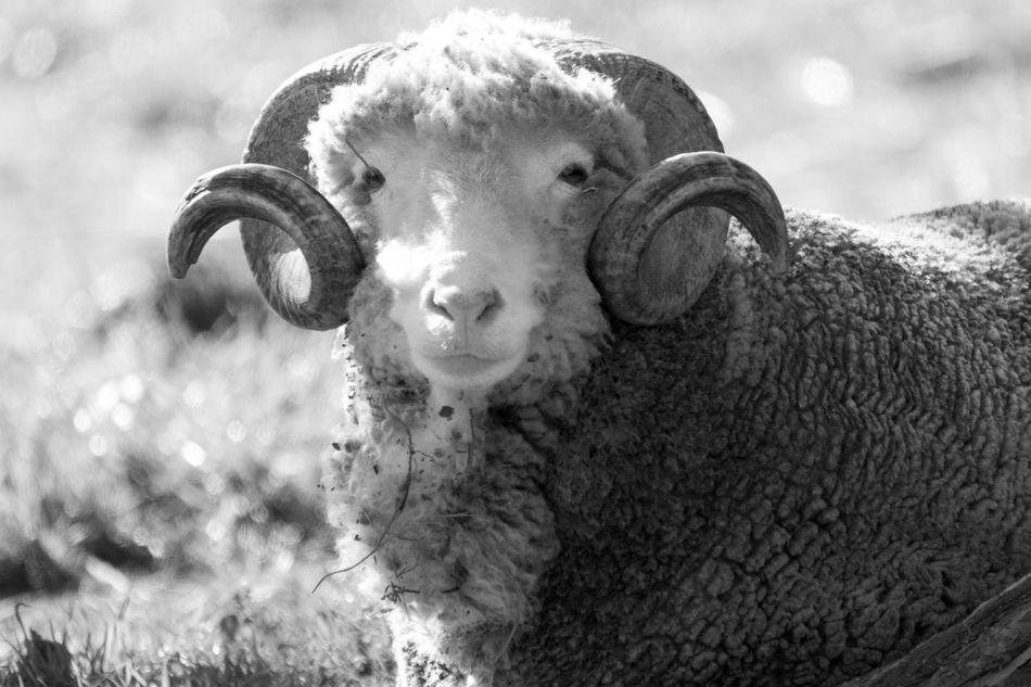 Farm Animals Outdoors Close-up Hadshot Farm Life Animal Themes Animals Black & White Black And White Black And White Photography Blackandwhite Blackandwhite Photography Bnw Eye4photography  EyeEm EyeEm Best Shots EyeEm Bnw EyeEmBestPics Monochrome EyeEm Gallery Taking Photos Portugal