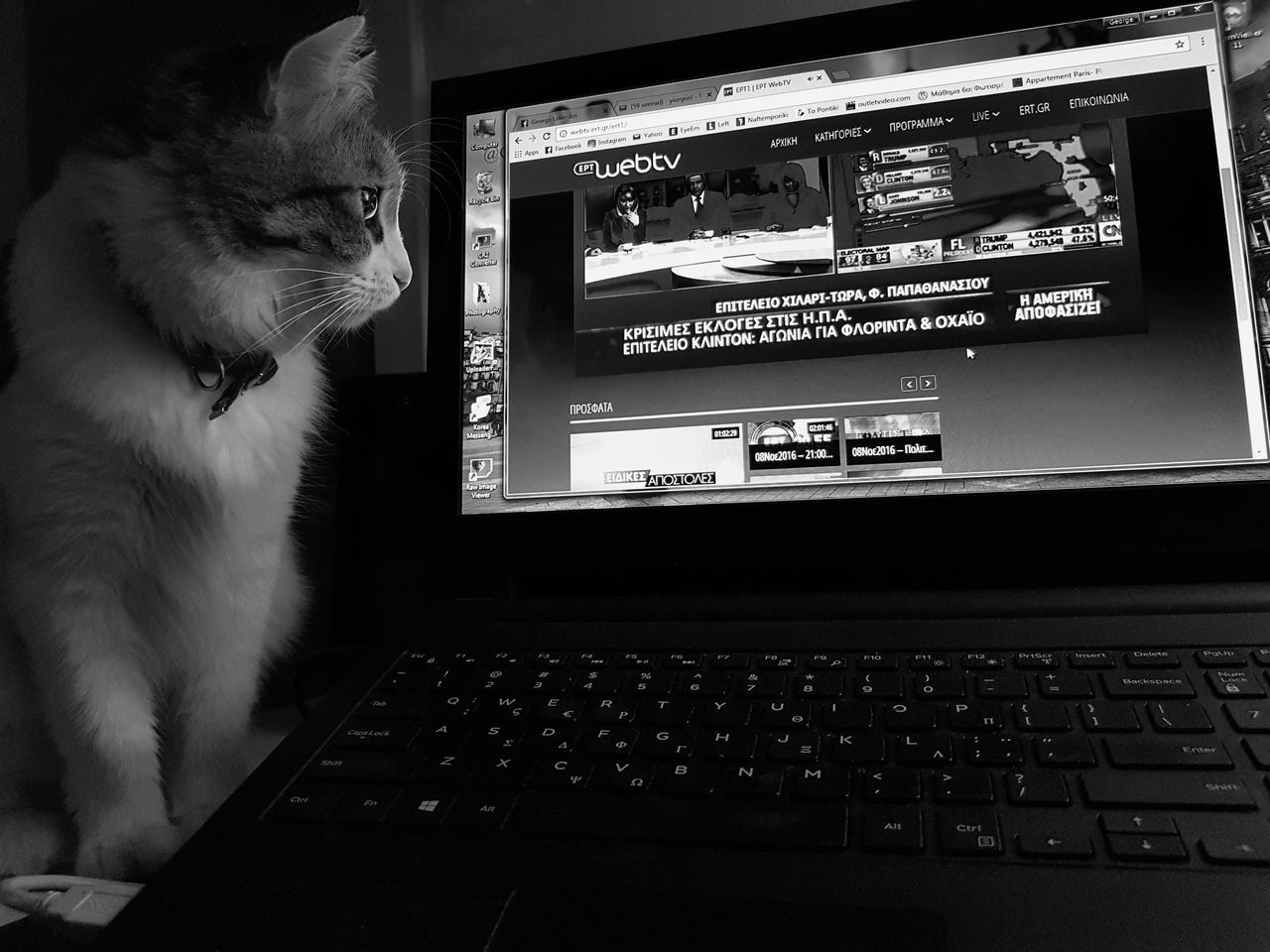 American Elections 2016 Cat Computer Election Indoors  Internet Laptop Pets Technology Using Laptop Watching