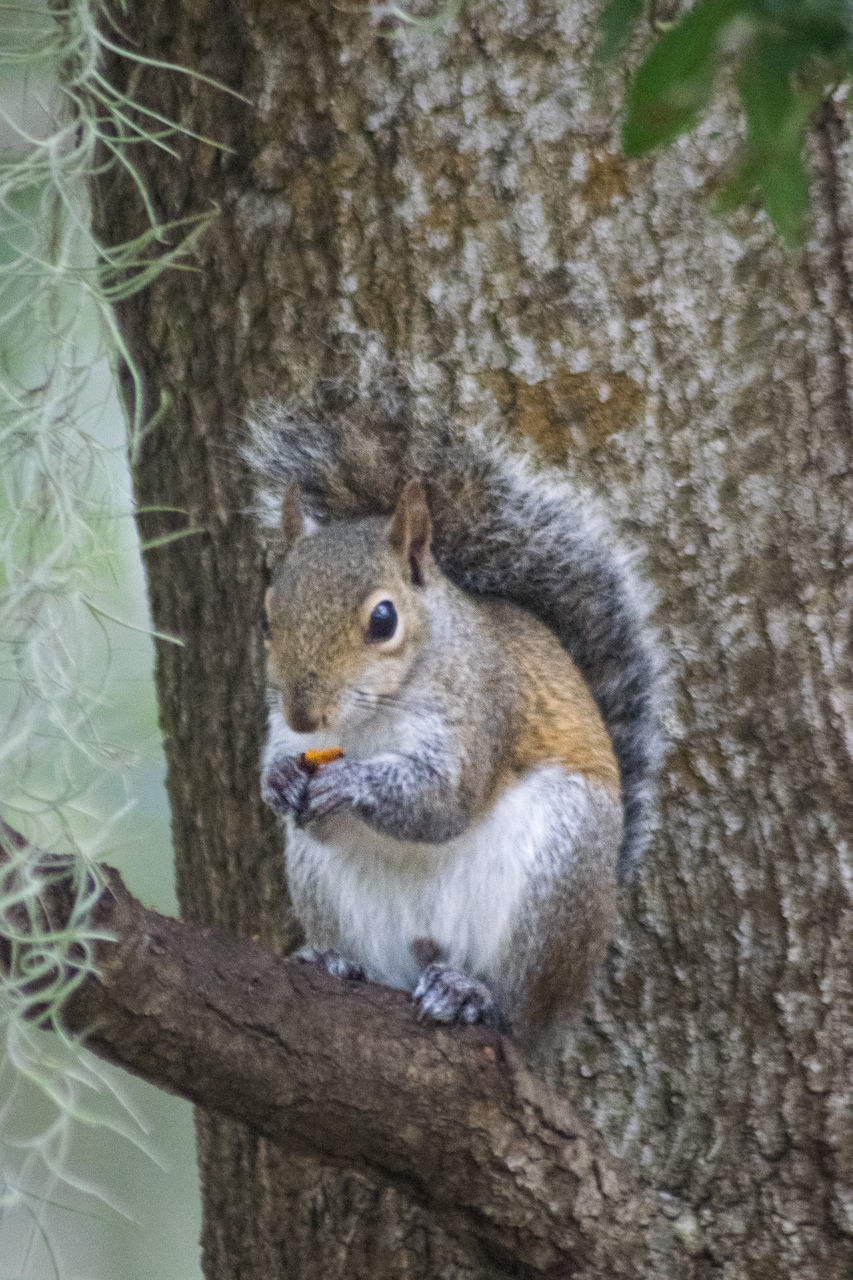one animal, squirrel, tree, tree trunk, animals in the wild, animal themes, no people, nature, outdoors, day, animal wildlife, close-up, mammal, branch