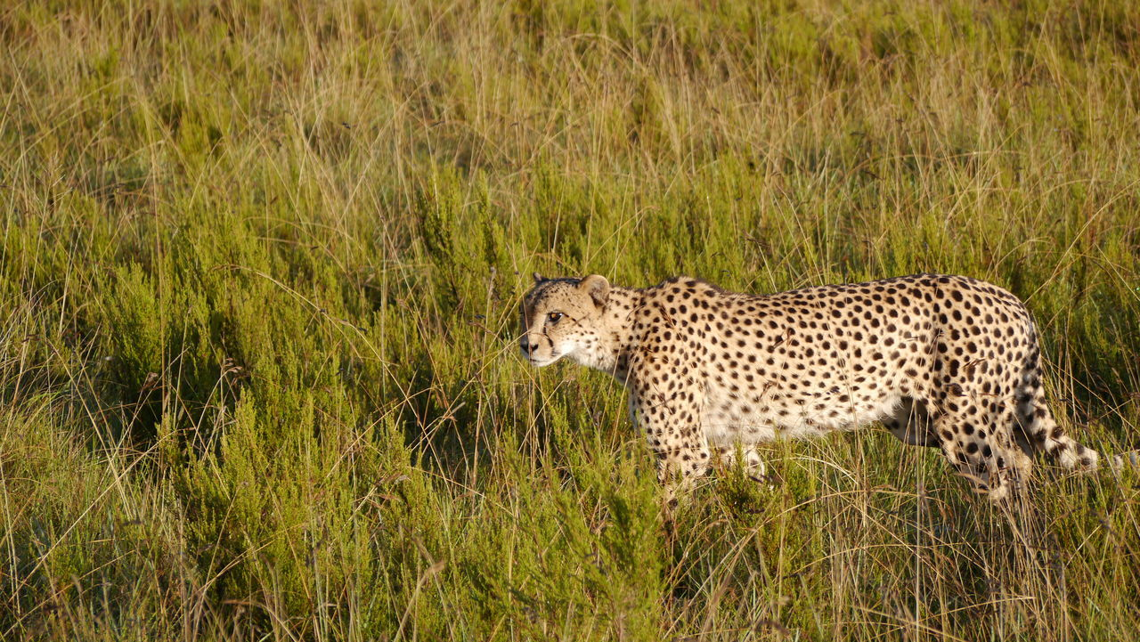 Beautiful stock photos of leopard, Animal Themes, Animals In The Wild, Cat Family, Day