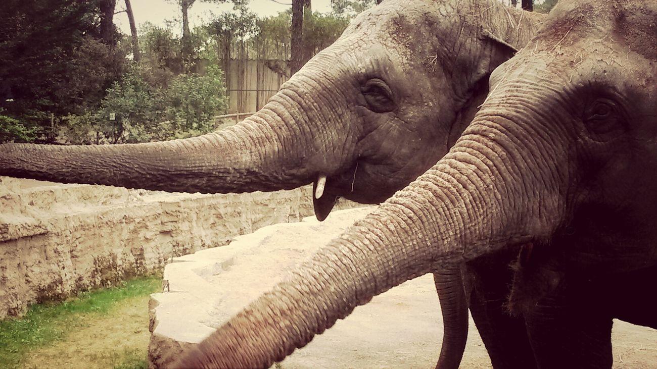 Elephants Animals Beautiful Picoftheday