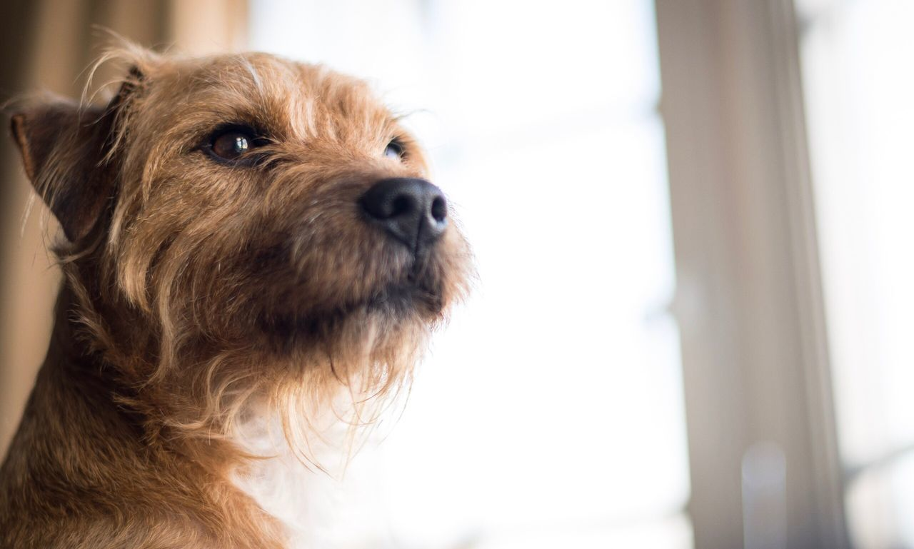 Looking out the window One Animal Animal Themes Focus On Foreground Domestic Animals Pets Close-up Mammal Indoors  Dog No People Day Terrier Terriermix Pet Photography  Pets Corner Dog Love Dogs Of EyeEm Dog Portrait