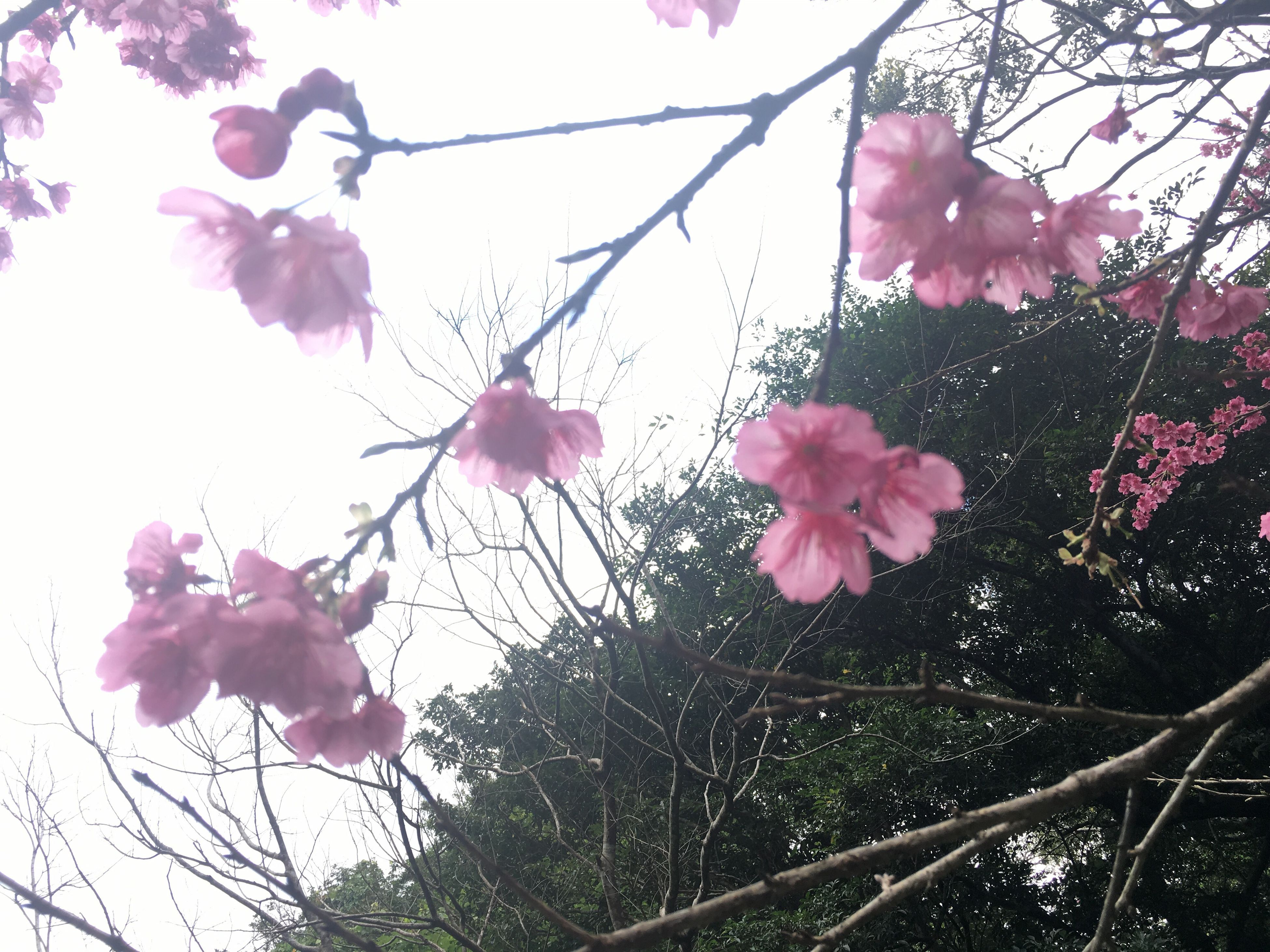pink color, growth, flower, tree, nature, freshness, beauty in nature, fragility, low angle view, branch, no people, petal, outdoors, day, close-up, sky, flower head