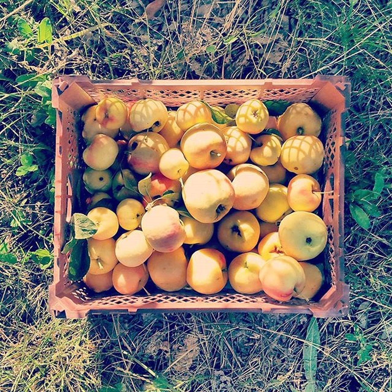 ▫ سیب مثل گونه هایت 😊 دست_رنج_پدرم سیب_های_کرمو