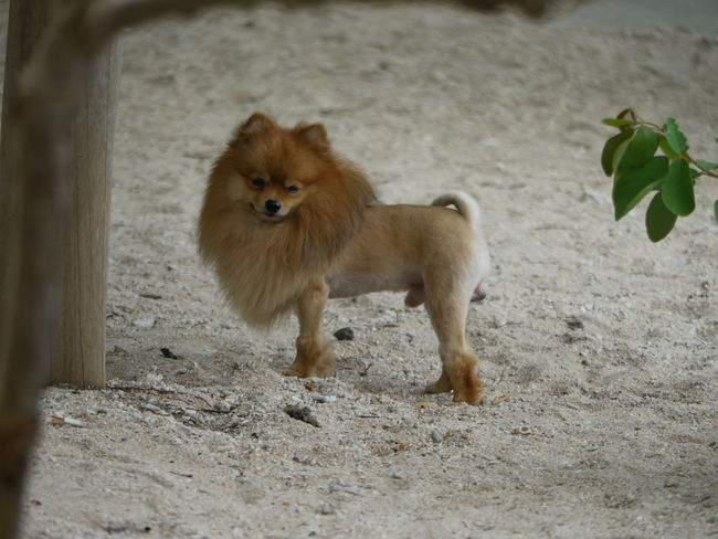 Animal Themes Dog Dogstyle Domestic Animals FUNNY ANIMALS Looking At Camera One Animal Pets Portrait Spotted In Thailand Koh Tao