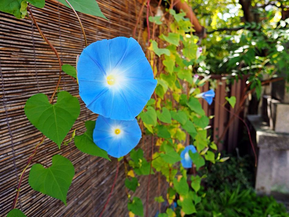 Kyoto Japan Asagao Morning Glory Flower Blue Olympus PEN-F 京都 日本 あさがお 花 青