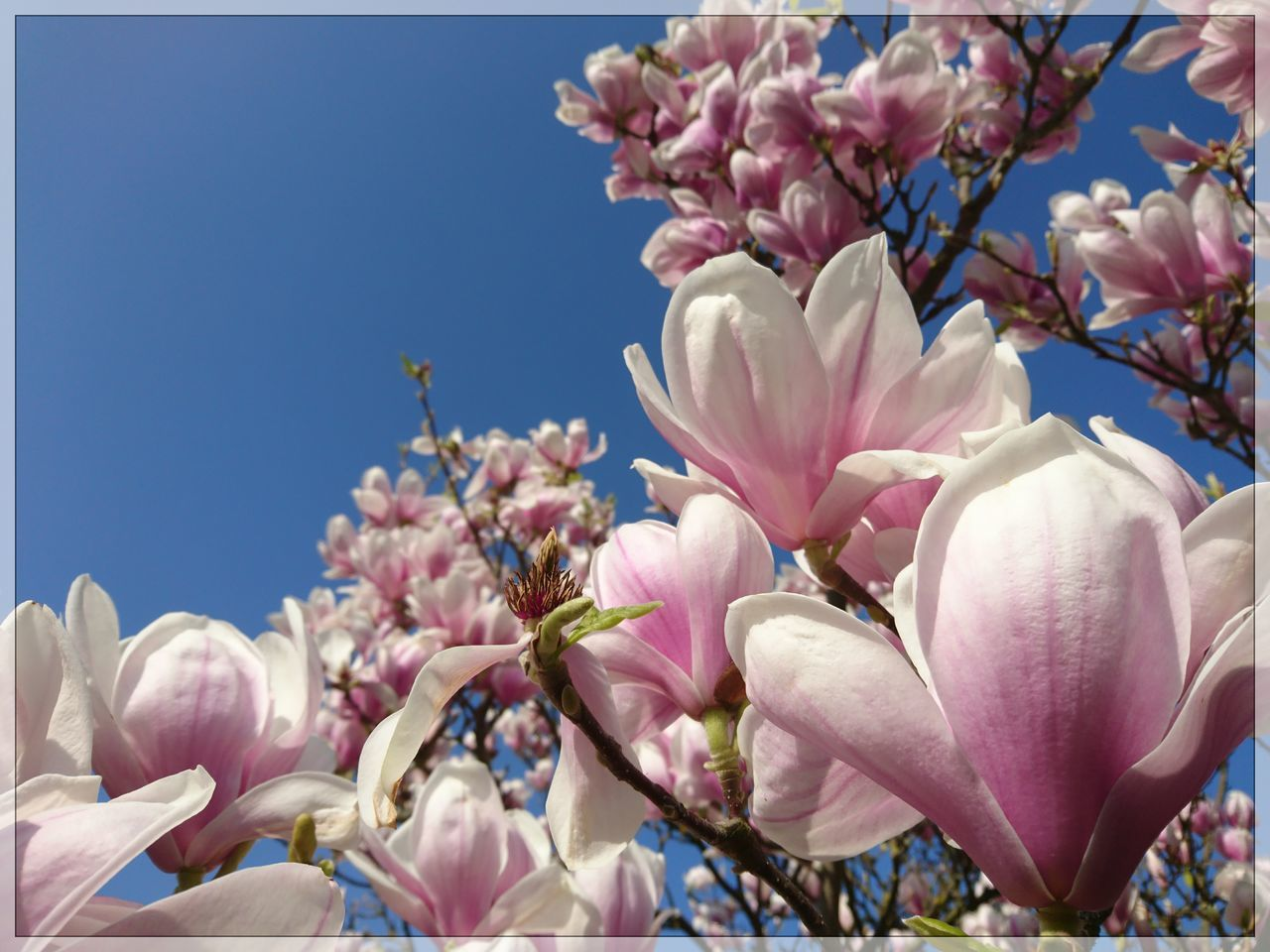 flower, petal, beauty in nature, fragility, blossom, nature, pink color, magnolia, freshness, growth, springtime, no people, botany, flower head, close-up, branch, day, outdoors, tree, blooming, low angle view, sky
