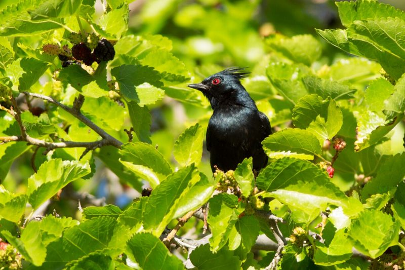 Phainiopepla in a mulberry tree Grafton Ghost Town Utah Bird Tree Nature One Animal Animal Themes Animals In The Wild Green Color Phainopepla Mulberry Tree Mulberry Fruit Leaf Tree Leaves In A Tree Black Bird Mulberry Utahghosttowns