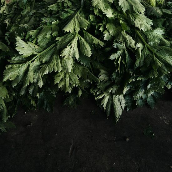 Cilantros in rural vegetable market Beauty In Nature Day Freshness Green Color Leaf Meizu Meizu Mx6 Nature No People Plant