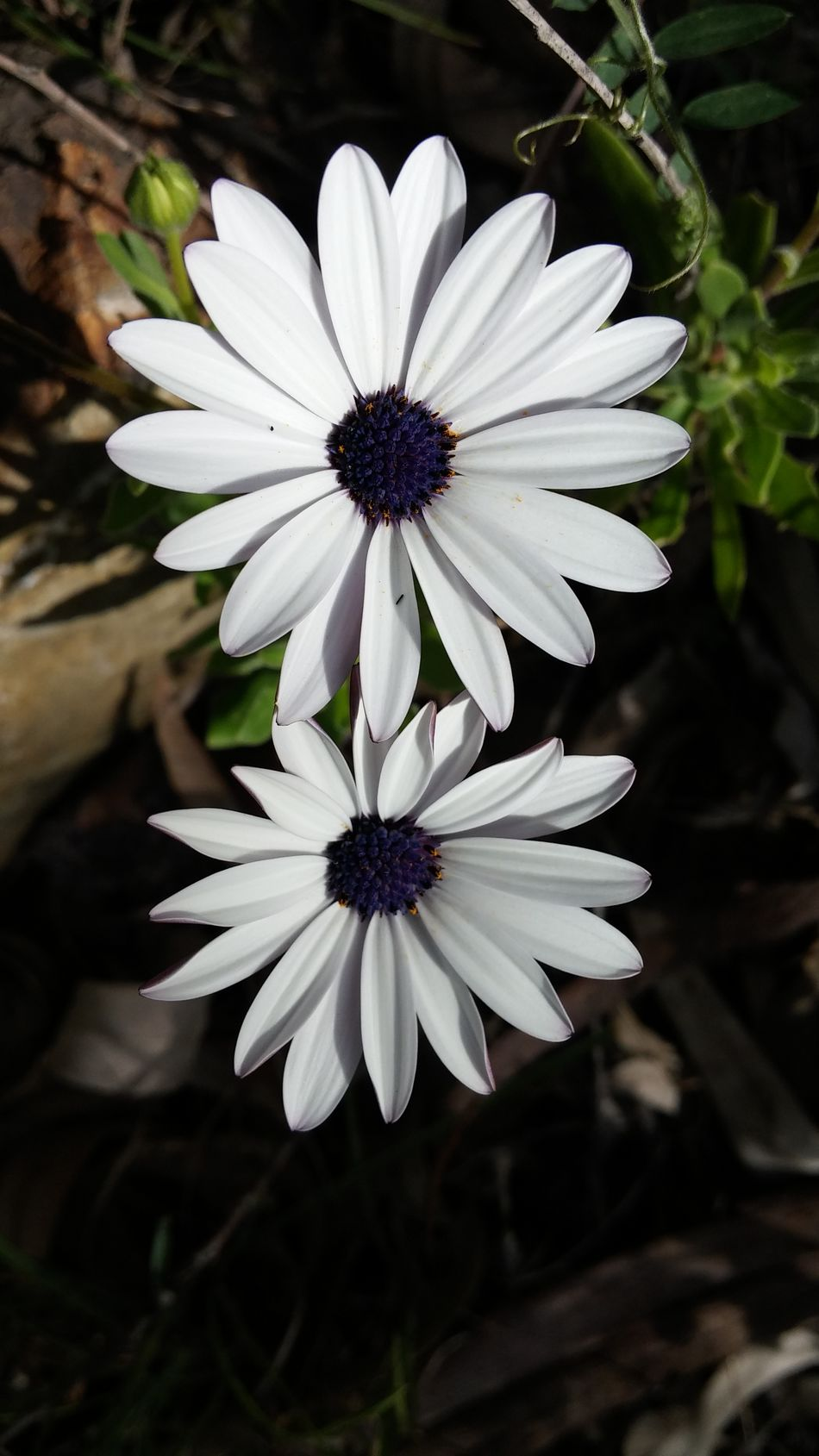 Flower Fragility White Color Petal Plant Nature Flower Head Beauty In Nature Close-up Freshness No People Day Outdoors Focus On Foreground Growth Black Background Osteospermum Pollen Primavera Naturaleza Flores Cáceres (Spain) Leaf Summer Plant