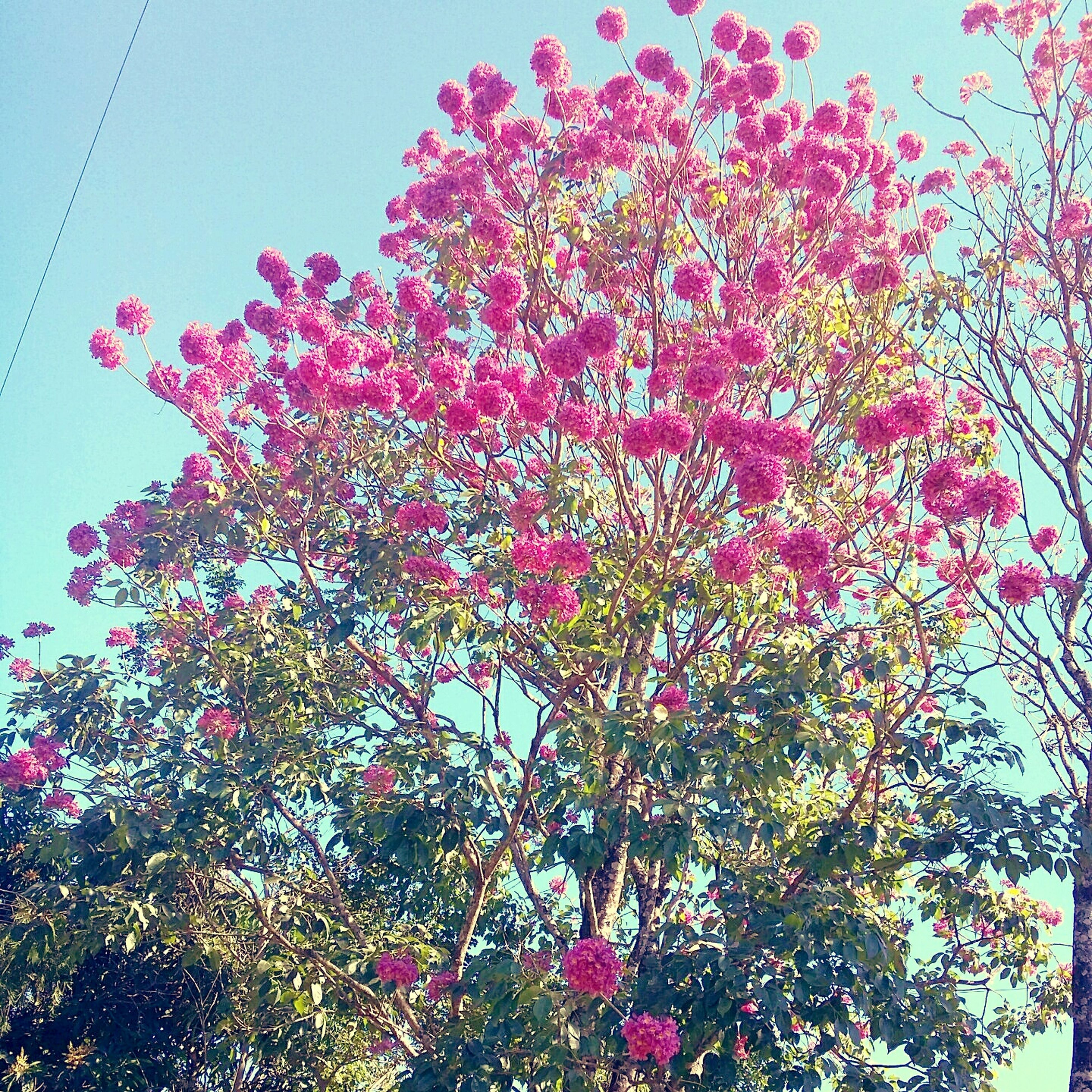 flower, low angle view, growth, freshness, beauty in nature, tree, fragility, nature, clear sky, pink color, blooming, sky, branch, in bloom, plant, blossom, red, petal, day, outdoors