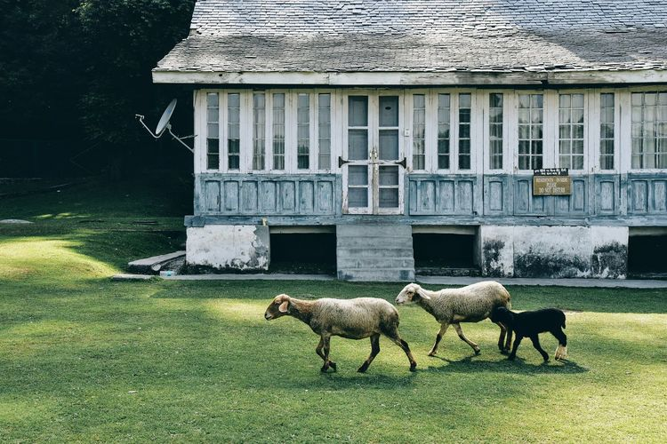 The Great Outdoors - 2017 EyeEm Awards Animal Themes Domestic Animals Grass Mammal Built Structure Outdoors Day Building Exterior Livestock Nature Architecture Beautiful Woman Human Body Part No People Water