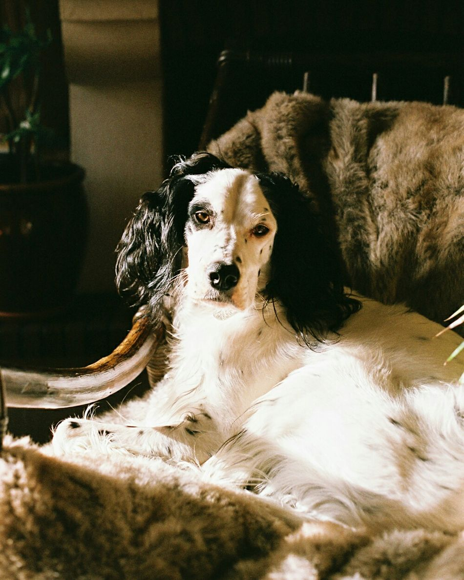 The family's dog. Dog Pets Animal Body Part Domestic Animals Indoors  Day Close-up One Animal Minolta 50mm Minolta Maxxum EyeEmNewHere Film Photograpy Film Film Photography Looking At Camera Family Dogs Dogs Of EyeEm Dog Portrait Dog Photography Doglovers