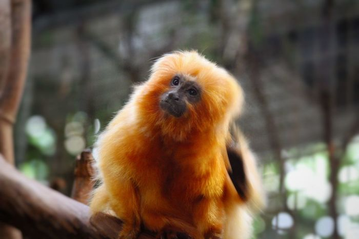 Alertness Animal Animal Head  Animal Themes Animals In The Wild Close-up Curiosity Day Depth Of Field Focus On Foreground Mammal Monkey No People One Animal Relaxation Selective Focus Sitting Softness Two Animals Wildlife Zoology