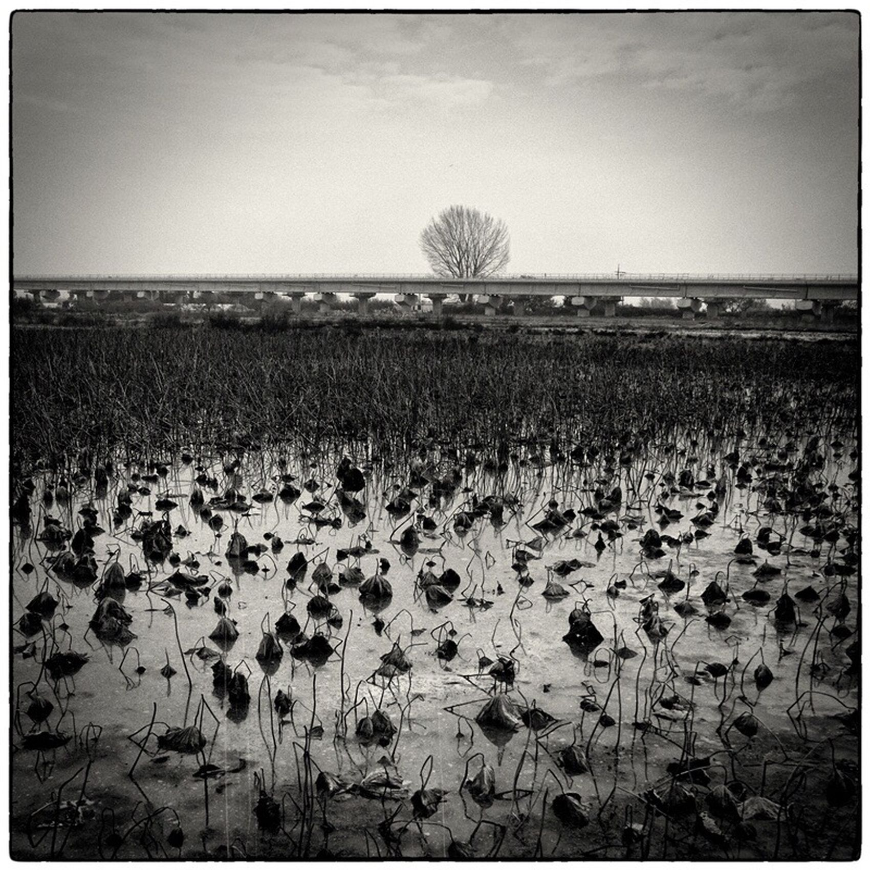 Lotus Fields Alone Tree Agriculture Blackandwhite Morning View Gloomy Weather Railway