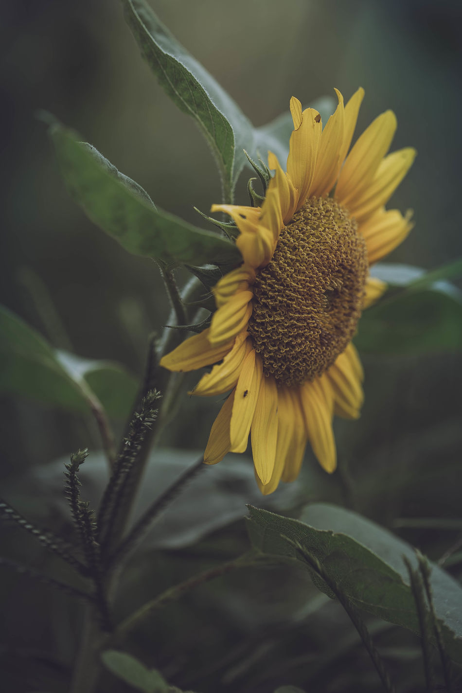 Beautiful stock photos of sonnenblume, Outdoors, Side View, Sunflower, beauty In Nature