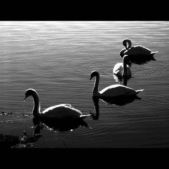 Wildlife Wildbirds Birds Swans Whiteswans Muteswans Orkney Orkneyisles Orkneyislands Stennessloch Silhouette Shadows Blackandwhite Mono Scotland Lifeasiseeit Johnnelson