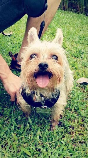 Dog Pets Animal Themes Close-up Outdoors Happy Happy Face Joy Joyful Moments Ocha Yorkshire Terrier