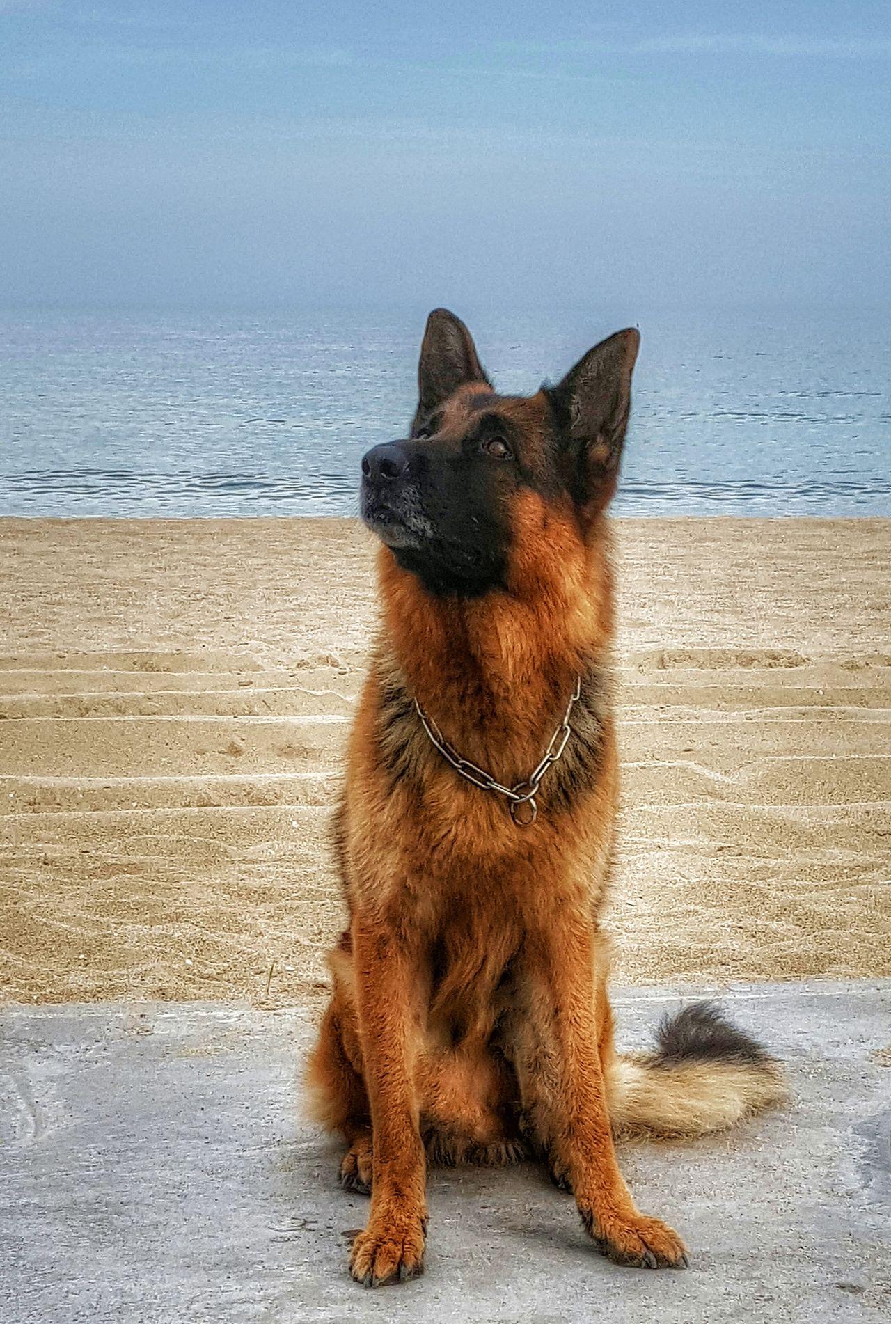 Beautiful stock photos of german shepherd,  Animal Themes,  Beach,  Close-Up,  Day