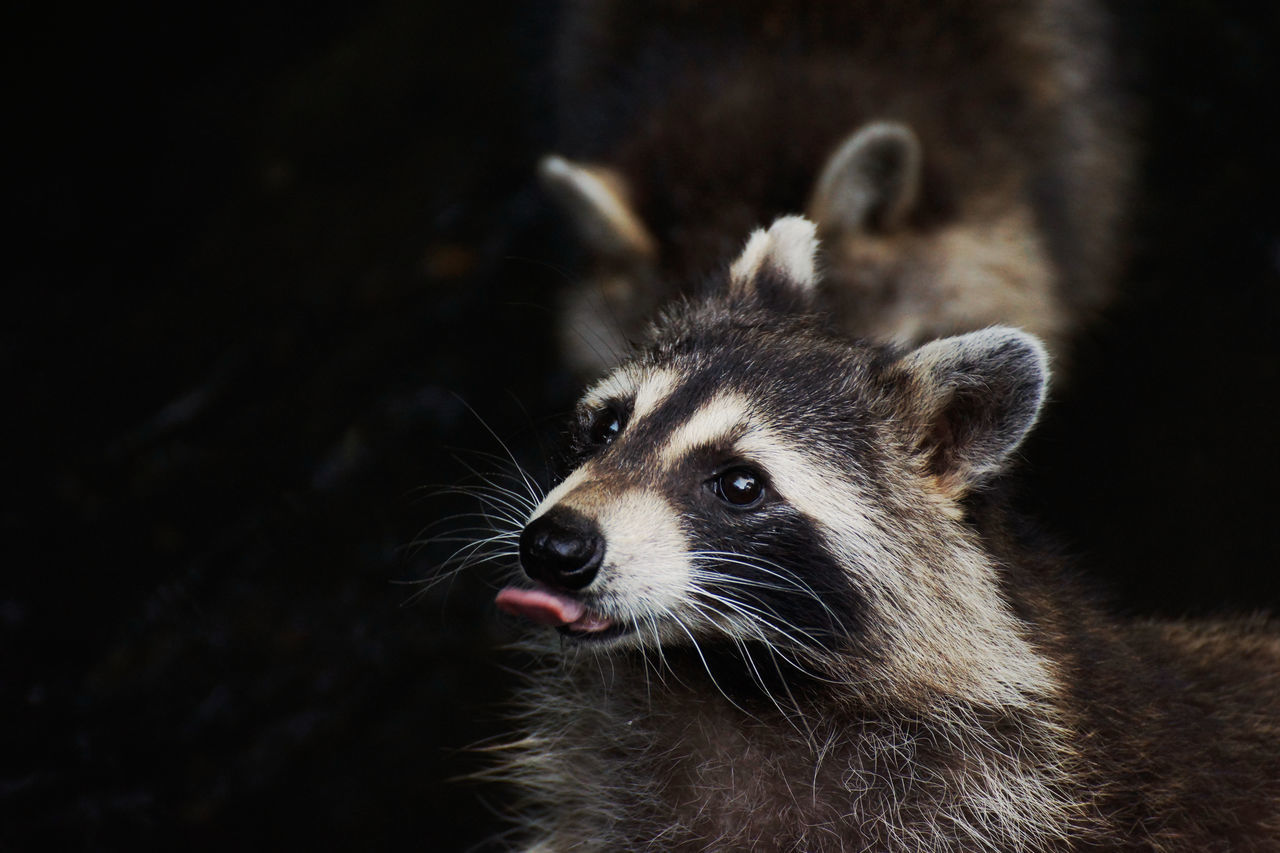 Beautiful stock photos of raccoon,  Animal Wildlife,  Animals In The Wild,  Carnivora,  Close-Up