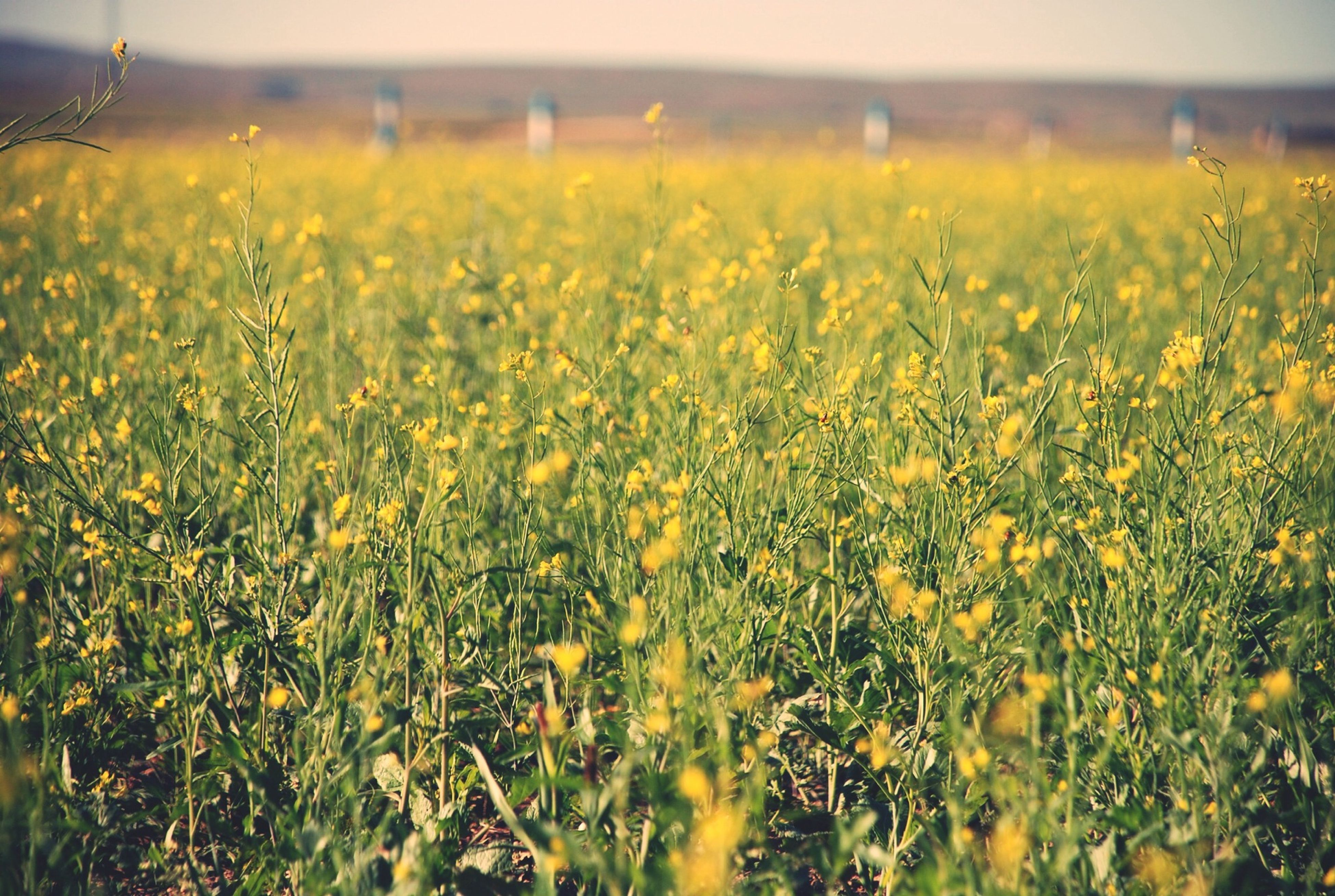 field, flower, growth, agriculture, rural scene, yellow, beauty in nature, freshness, farm, nature, crop, landscape, plant, tranquil scene, fragility, tranquility, scenics, focus on foreground, cultivated land, grass