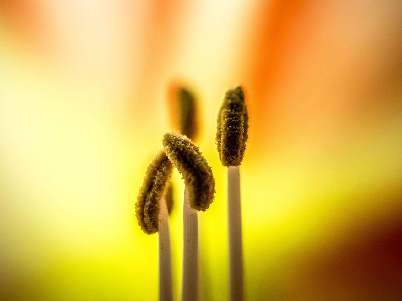 Macro Shot Of Amaryllis Blooming Outdoors
