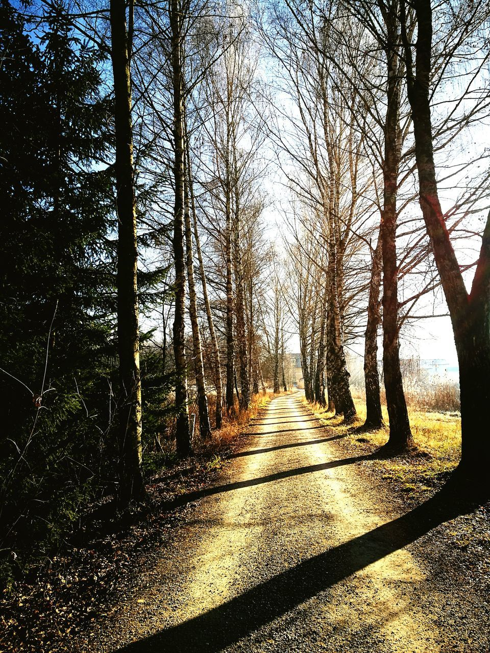 tree, the way forward, nature, diminishing perspective, forest, tranquil scene, day, tranquility, sunlight, scenics, beauty in nature, outdoors, landscape, bare tree, no people, tree trunk, shadow, road, branch, sky